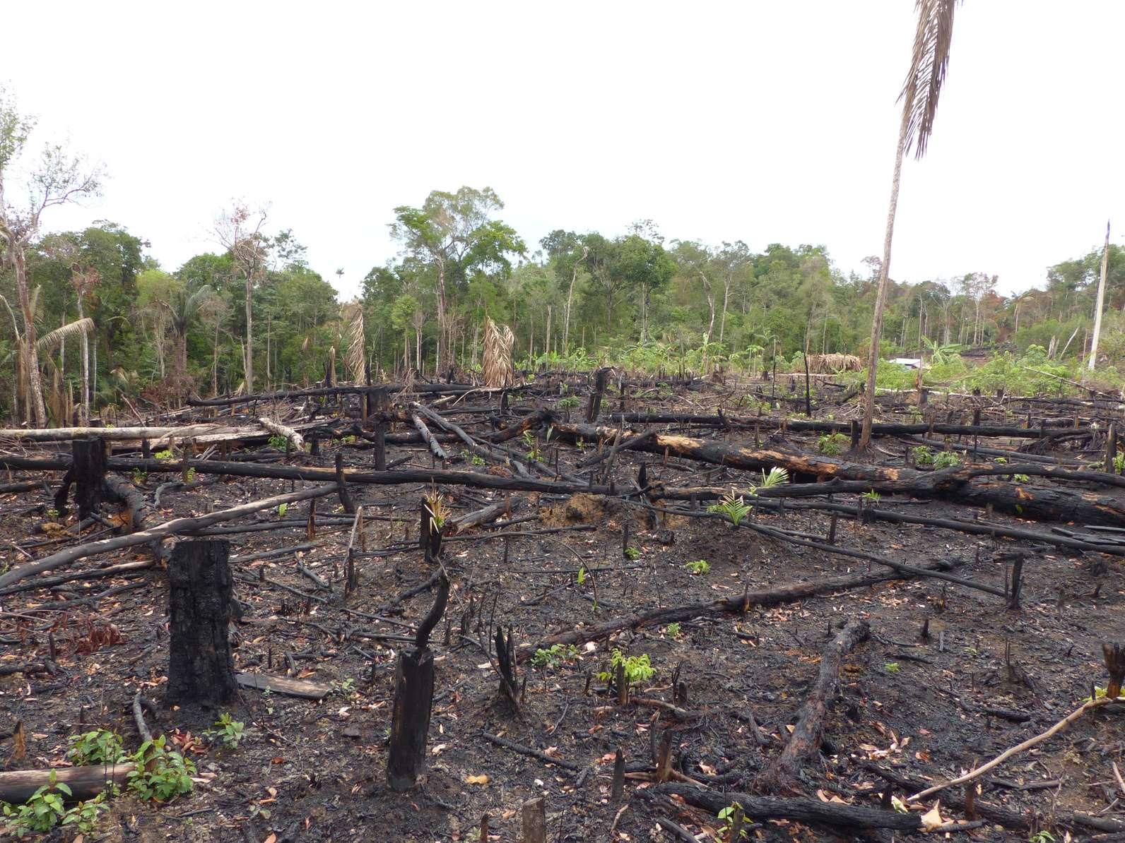 Pour le deuxième mois consécutif cette année, la déforestation en Amazonie brésilienne est en hausse, avec 920 km² de forêt disparus au mois de juin 2019, soit +88,4 % par rapport à juin 2018. © guentermanaus, Fotolia