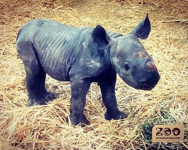 Le premier bébé rhinocéros noir de France est né le 6 décembre dernier au zoo du Bassin d'Arcachon. © Zoo du Bassin d'Arcachon, Instagram