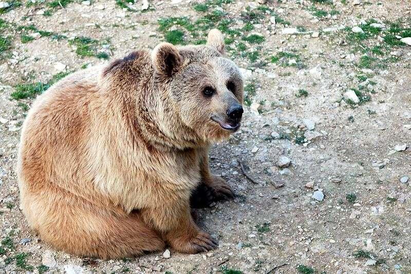 Photo d'un ours brun de Syrie. © VonFassen, GNU Free Documentation License, version 1.2