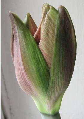 Bourgeon floral d'amaryllis. © Kpjas Creative Commons Attribution ShareAlike 3.0