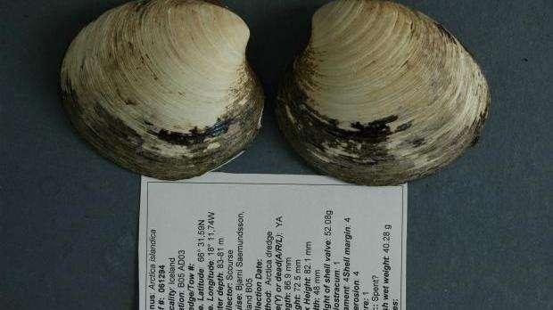 Voici les coquilles de Ming, un mollusque bivalve mort à l'âge de 507 ans. Il mesurait 86,9 mm de long. © Université de Bangor