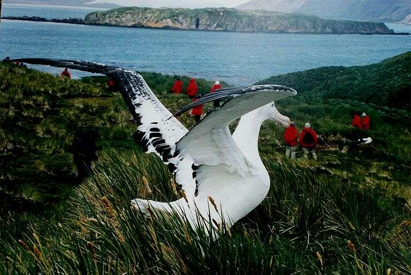 Photo d'un albatros hurleur. © Mila Zinkova, GNU FDL Version 1.2