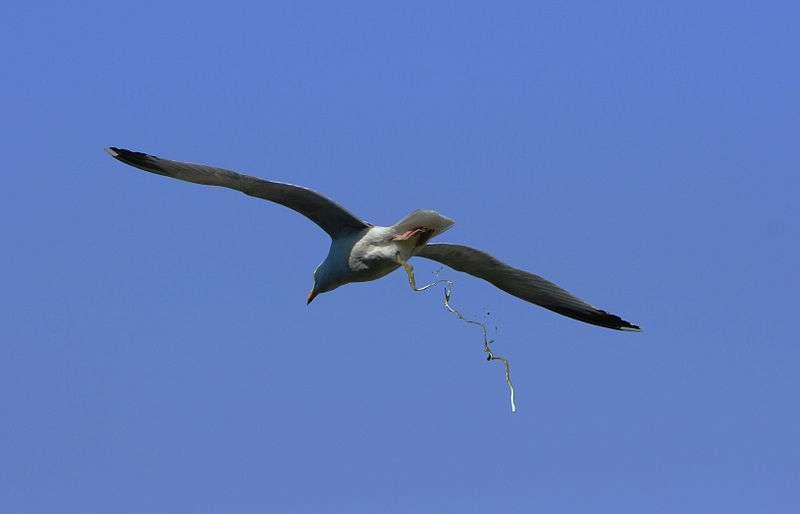 Un goéland argenté (Larus argentatus) est en train de déféquer près de l'île de Bréhat. Ses déjections sont appelées guano. © Sanchezn, Wikipédia, GNU 1.2