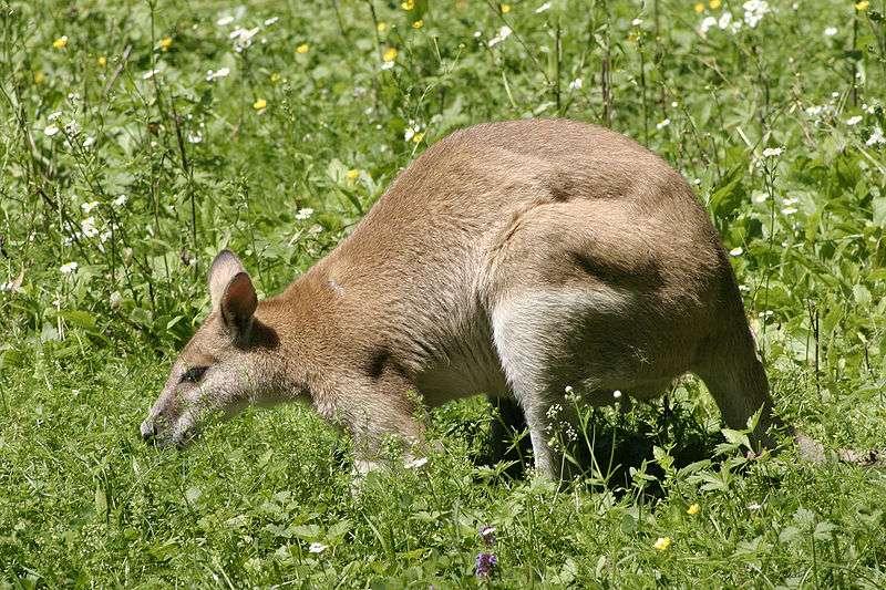 Les kangourous sont des marsupiaux qui se déplacent en sautant. Le plus connu d'entre eux était Skippy. La photo représente un wallaby agile. © Nino Barbieri, Wikipédia, GNU 1.2