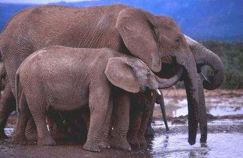 Animaux sociaux, les éléphants vivent très mal la captivité. © Ifaw