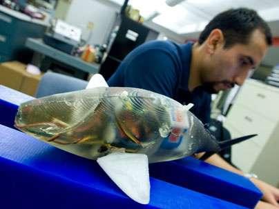 Entièrement souple, le corps est constitué de polymères dont l'épaisseur, et donc la rigidité, varient de la tête à la queue pour produire sur les flancs du robot ondulant un courant d'eau efficace. © Patrick Gillooly