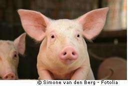 Grippe porcine : pandémie ou épidémie ?