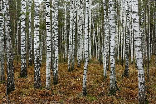 Forêt de Sibérie, près de Novosibirsk. © Beggs CC by