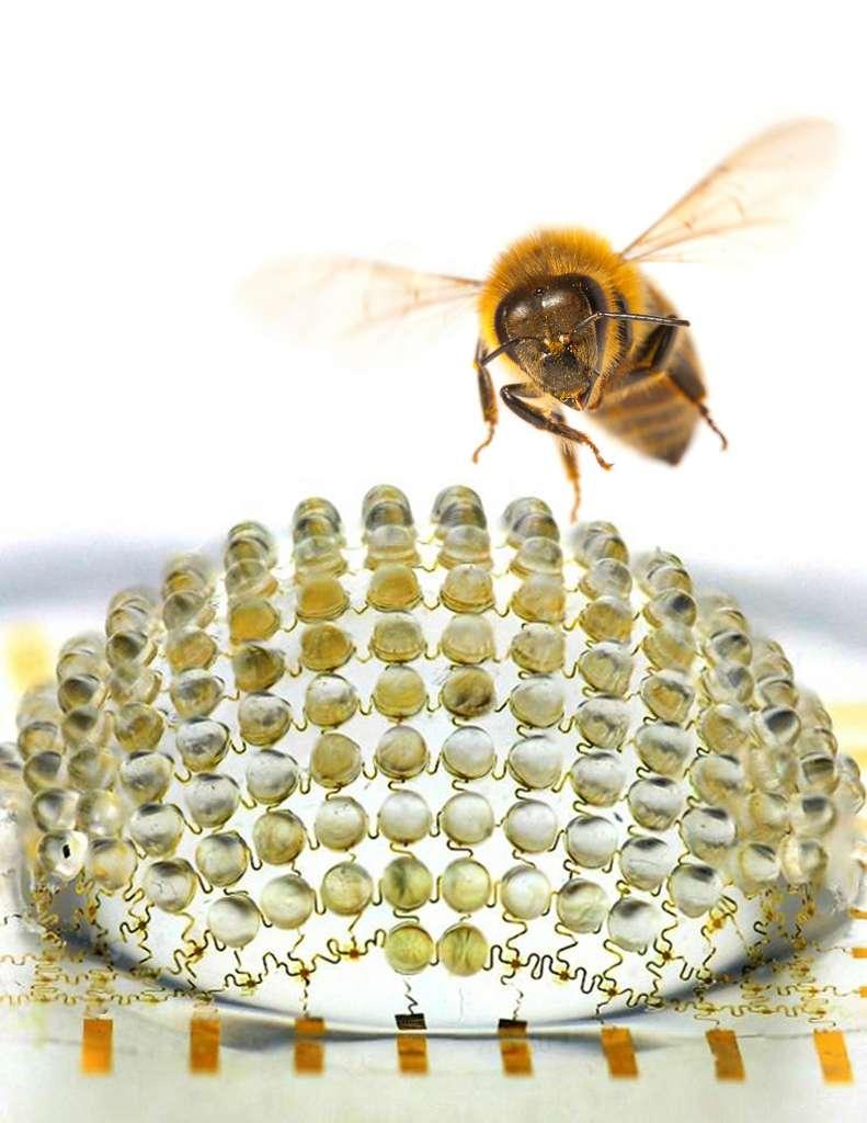 Les chercheurs ont encore du chemin à faire avant de créer une caméra composée de 4.500 microlentilles, et donc capable de voir comme cette abeille. En effet, les yeux de cet animal se composent chacun de 4.500 ommatidies. © Beckman institute for advanced science and technology, université de l'Illinois
