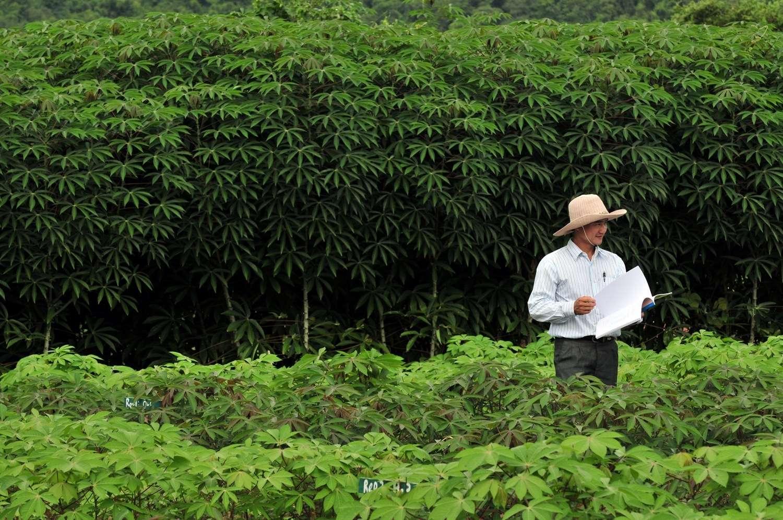 Depuis le début de l'année 2012, 68 nouveaux cas de cette mystérieuse maladie de la peau ont été constatés, et 8 en sont morts. Une centaine de personnes sont hospitalisées dont 10 dans un état critique. Suspectés, des herbicides utilisés sur des champs de manioc (à l'image). Mais pas encore incriminés. © CIAT International Center for Tropical Agriculture, Fotopédia, cc by 2.0