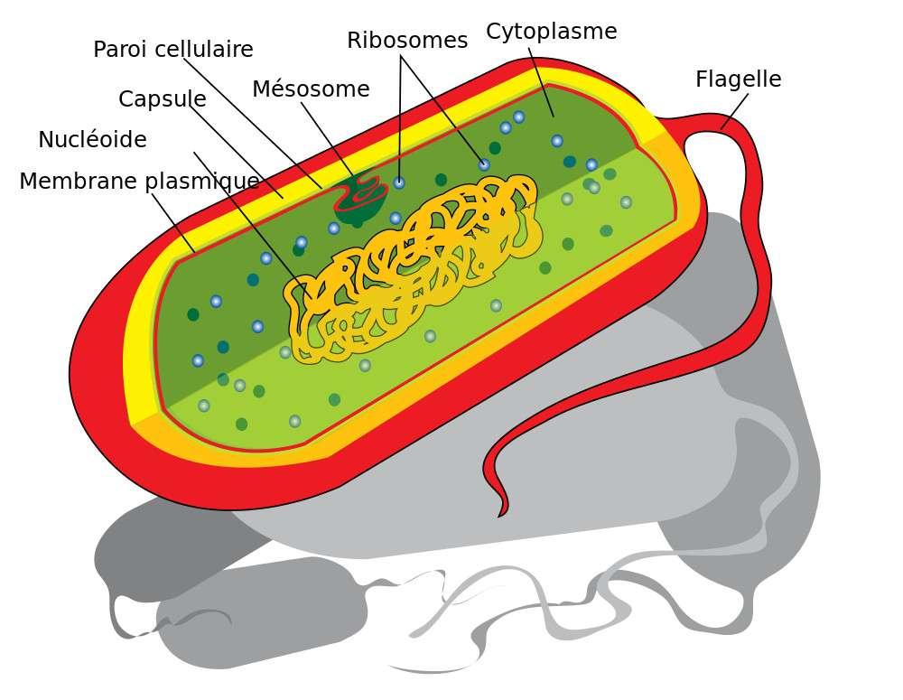 L'ADN circulaire est contenu dans le nucléoïde, qui n'est pas séparé du reste de la cellule. © LadyofHats, traduit par Baptiste Deleplace, Wikipédia, DP