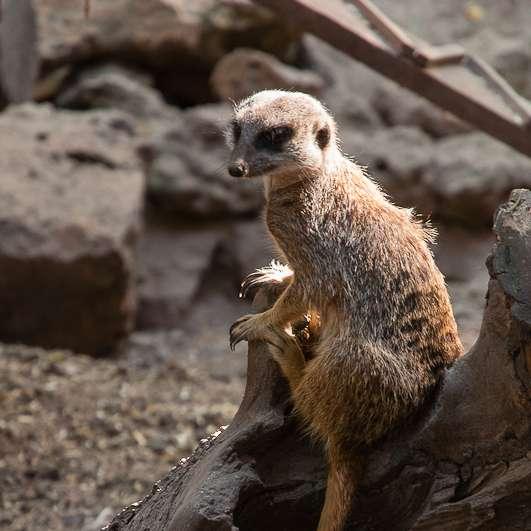 Suricate au zoo parc de Cheptainville, dans l'Essonne, un zoo où découvrir plein de petites espèces. © Hervé, Wikimedia Commons, cc by sa 2.0