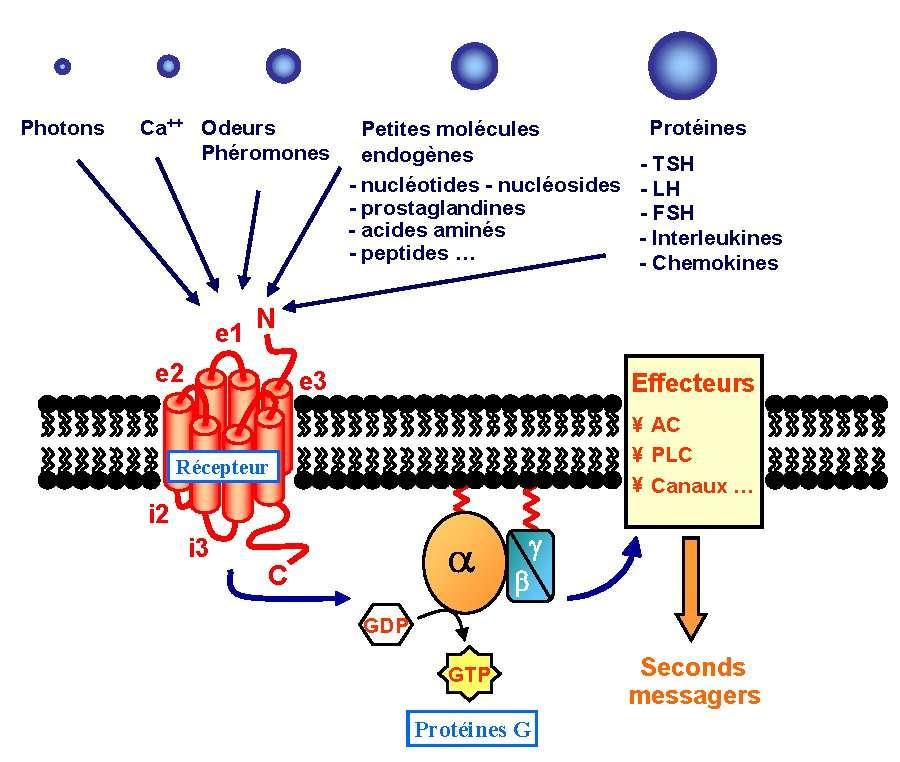 Schéma d'un RCPG, récepteur couplé aux protéines G, installé sur la membrane d'une cellule. Avec sa structure comportant 7 hélices, il dépasse à l'extérieur de la cellule (en haut) et à l'intérieur (en bas). Spécifique à un stimulus (molécule, ion, lumière...), il s'active en sa présence. Son interaction avec les protéines G provoque la phosphatation d'une coenzyme, la GDP, guanosine diphosphate, qui devient triphospahte (GTP). Ainsi activée, la protéine G déclenche l'action de différents effecteurs qui modifieront le métabolisme de la cellule. (D'après Bockaert et Pin). © Maurel Damien, CC by-nc-sa 2.0