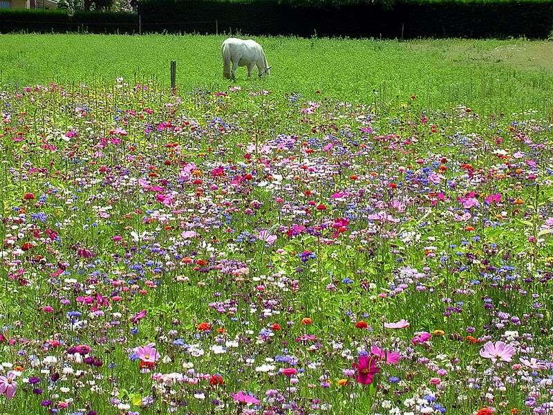Jachère fleurie en France. © Jibi44, cc by sa 3.0