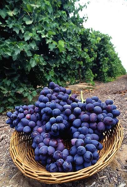 Le raisin rouge pousse sur des ceps qui sont vendangés à l'automne. © DR