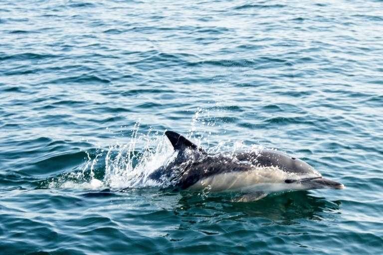 1.100 dauphins ont été retrouvés échoués sur la côte atlantique française entre le 1er janvier et le 18 mars, majoritairement victimes des filets de pêche qui les prennent au piège. © Sébastien Salom Gomis - AFP/Archives