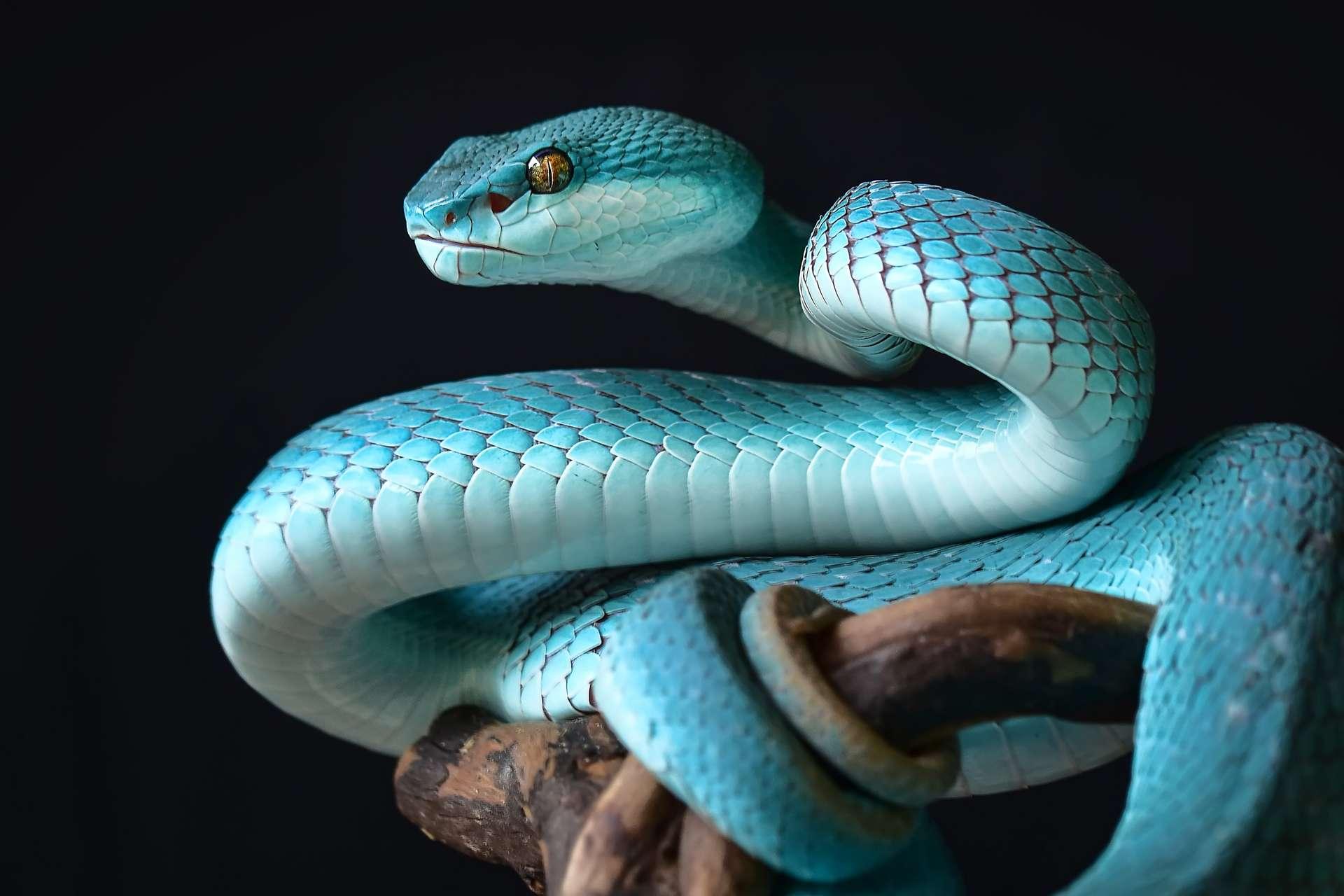 Les serpents sont des vertébrés recouverts d'écailles, dotés de mâchoires mobiles facilitant l'ingestion de proies. © Twin, Adobe Stock
