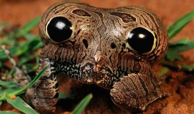 La grenouille de Cubaya vu de l'arrière, le corps gonflé. © George Grall, National Geographic Creative