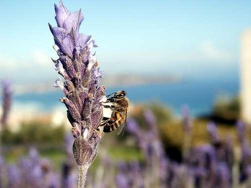 Une abeille tueuse butine de la lavande. © J POD CC by-sa