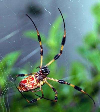 Nephila clavipes est une espèce d'araignée pouvant tisser des toiles d'un mètre de diamètre. Au soleil, elles réfléchissent des éclats dorés. Sur cette photo, un spécimen femelle se saisit du fils de soie qu'il produit du bout de la patte, là où les poils sont durs et recouverts d'un revêtement antiadhésif. © C. Frank Starmer, Wikimedia common, CC by-sa 2.5