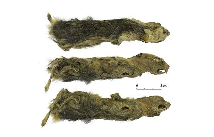 Le lemming retrouvé dans le permafrost en Sibérie est âgé de plus de 41.000 ans. © Alexey Lopatin et al, The Siberian Times