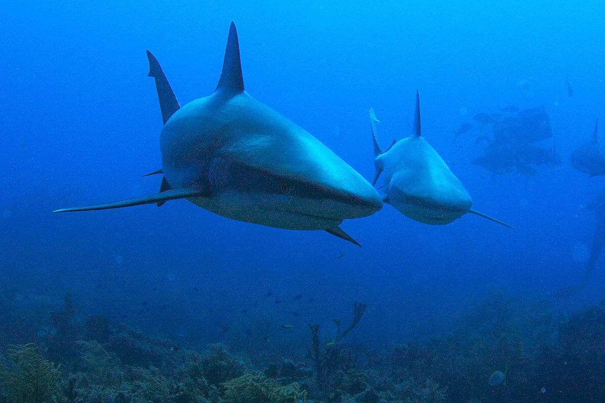 Le requin-citron (Negaprion brevirostris) doit son nom à sa couleur tirant sur le jaune. Il peut atteindre jusqu'à 3,4 m de long et vivre 25 ans. © mentalblock_DMD, Flickr, cc by nc sa 2.0