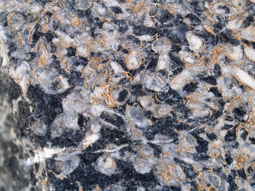 Parmi les tout premiers microfossiles néoprotérozoïques à exosquelette carbonaté, on trouve ceux laissés par un animal dont le genre a été baptisé Cloudina. Ces organismes se distinguent par l'emboîtement de plusieurs coquilles coniques et ils ont précédé de quelque 10 millions d'années l'explosion cambrienne. On voit ici leurs restes dans un récif fossile en Namibie. © Fred Bowyer