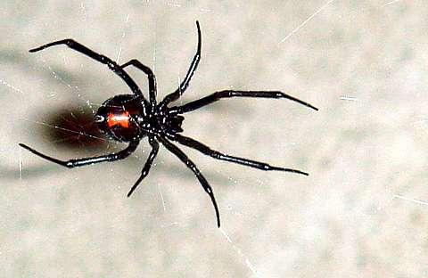 La femelle de la veuve noire est à peu près deux fois plus grosse que le mâle. Si elle a faim, elle peut le manger ! Une raison de plus pour les araignées mâles de choisir des femelles déjà rassasiées pour s'accoupler… © Chepyle, Wikimedia Commons, cc by sa 3.0