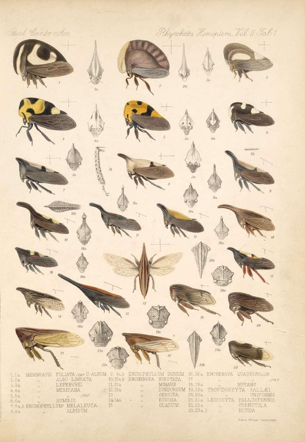 Une planche ancienne montrant des membracides, des insectes qui étonnent depuis longtemps. © Biologia Centrali-Americana