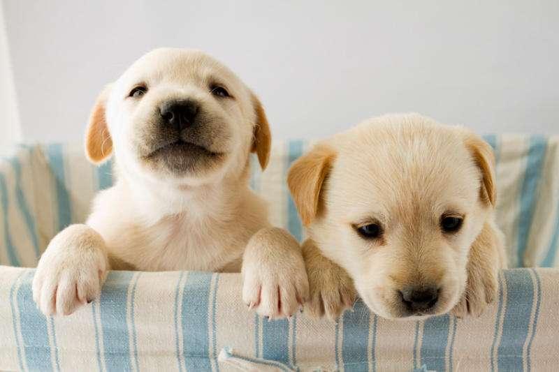 Les chiots entrent dans leur période de socialisation au bout de la quatrième semaine. Ils ont déjà développé leur ouïe et leur odorat, et développent leur vue durant cette phase. La période de socialisation est le temps qu'il leur faut pour apprendre à communiquer, s'intégrer dans le groupe, se familiariser avec le monde qui les entoure. Dans la domestication du chien, c'est précisément durant cette période que l'Homme doit se présenter à l'animal. © Gorilla, Fotolia