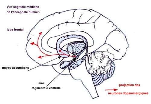 Circuit de la dopamine dans le cerveau. Crédit : Institut National de Recherche Pédagogique (INRP)