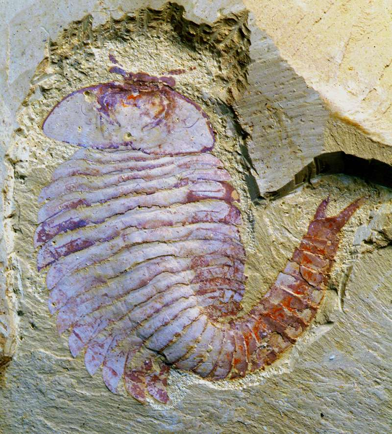 Vue dorsale du fossile de Fuxianhuia protensa ayant permis la description du cerveau de cette espèce (YKLP 11321). La tête et les pédoncules portant les yeux sont observables dans le haut de l'image. © Nicholas J. Strausfeld
