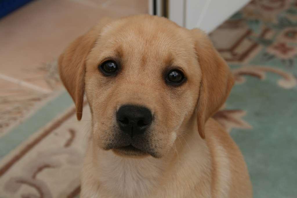 Certaines études ont montré que les chiens étaient capables de renifler l'odeur du cancer. Cependant, l'utilisation du meilleur ami de l'Homme n'est pas une solution envisageable à grande échelle dans les hôpitaux. Le nez artificiel est capable d'établir un profil par olfaction des composés issus d'un échantillon d'urine et permet un diagnostic du cancer. © Cat Burton, Flickr, cc by nc nd 2.0