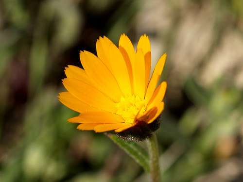 La fleur du souci des champs (Calendula arvensis) se ferme la nuit et s'ouvre en milieu de matinée. © fturmog CC by-nc-sa 2.0