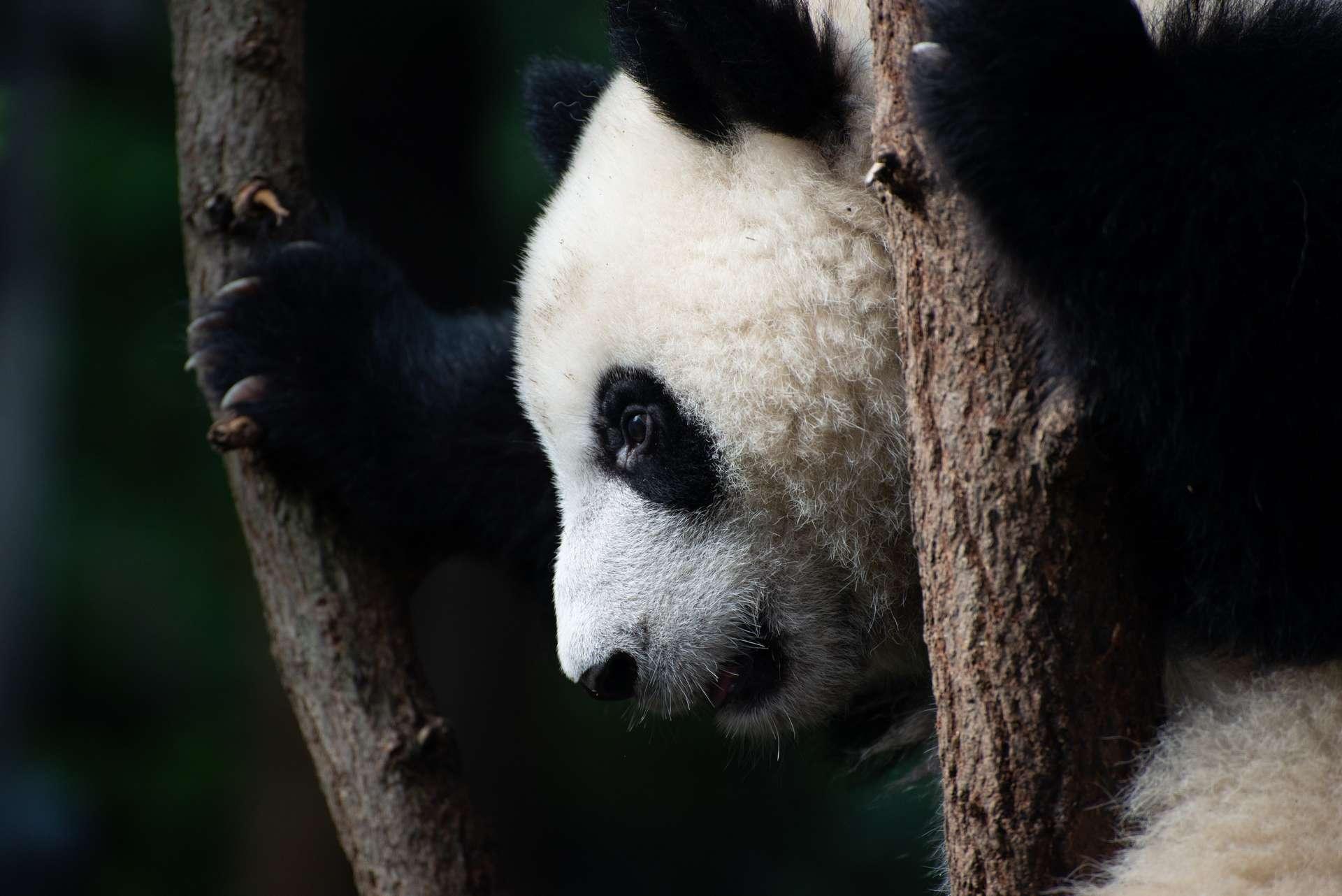 Endémique de la Chine, le panda géant est classé « espèce vulnérable » par l'UICN. © Edward, Adobe Stock