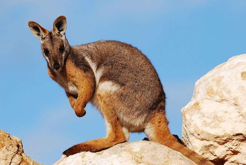 Le pétrogale à pied jaune est une sorte de wallaby des rochers. © Peripitus, Wikipédia, GNU 1.2