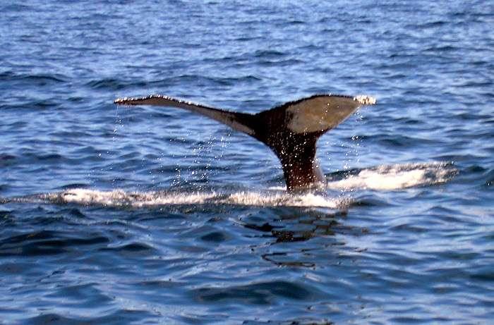 Les populations de baleines dans le golfe du Mexique auraient souffert de la marée noire. © deb jencks, Stockvault