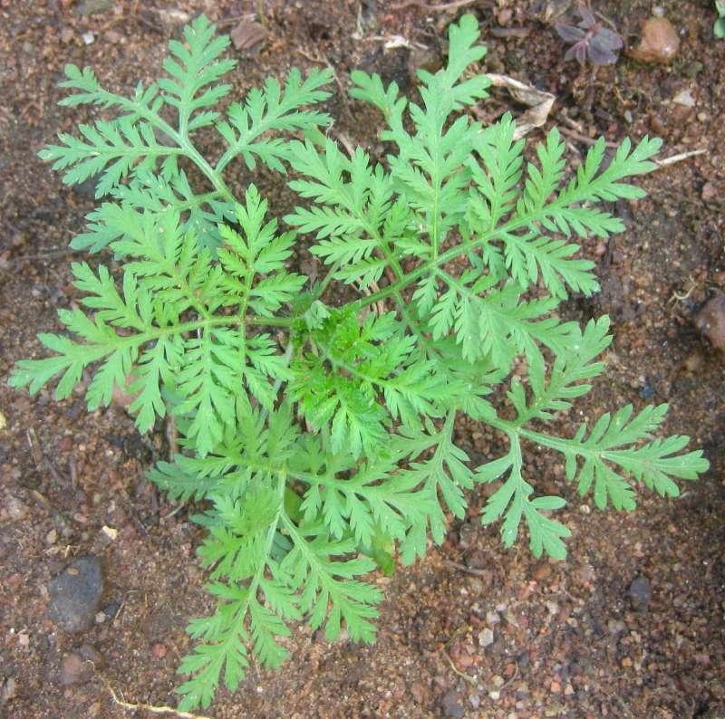 L'artémisinine est le principe actif d'une plante chinoise, Artemisia annua. Cette substance a été découverte par Youyou Tu et est utilisée comme traitement contre le paludisme. © Ton Rulkens, File Upload Bot (Magnus Manske), Wikipedia, CC by-sa 2.0