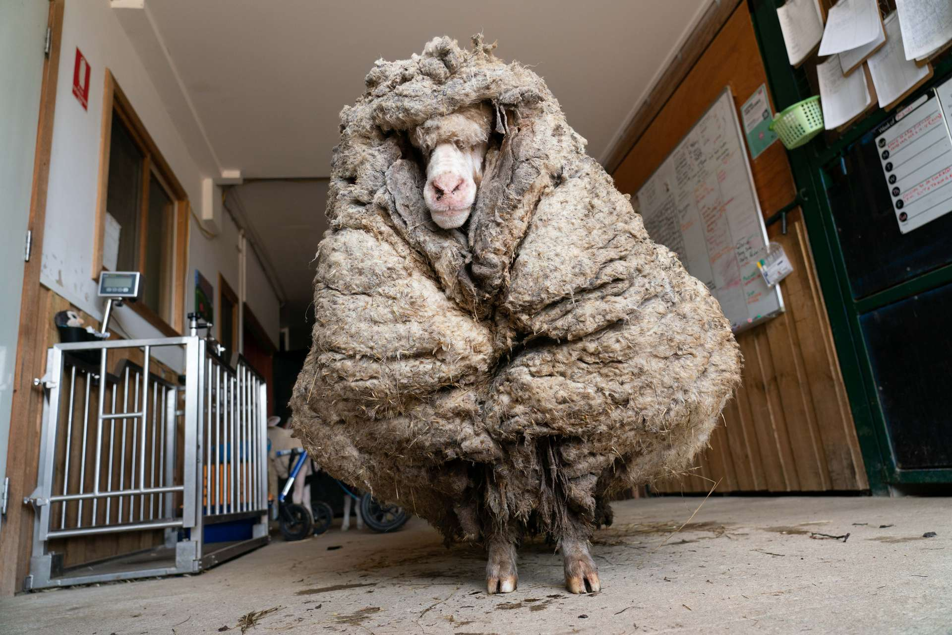 La toison de Baarack pesait 35 kg, soit le 2e record après celui d'un mouton découvert en 2015 avec 41 kg de laine. © Edgar's Mission