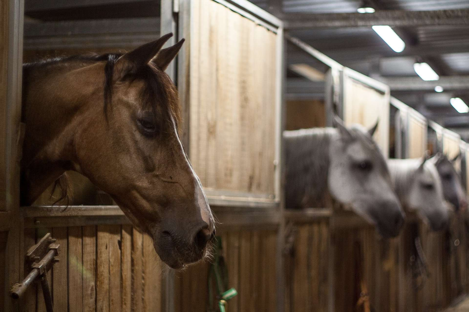 Une épidémie de rhinopneumonie équine s'est propagée à toute l'Europe à partir d'une compétition internationale qui s'est déroulée à Valence en février. © Atropos91, Flickr