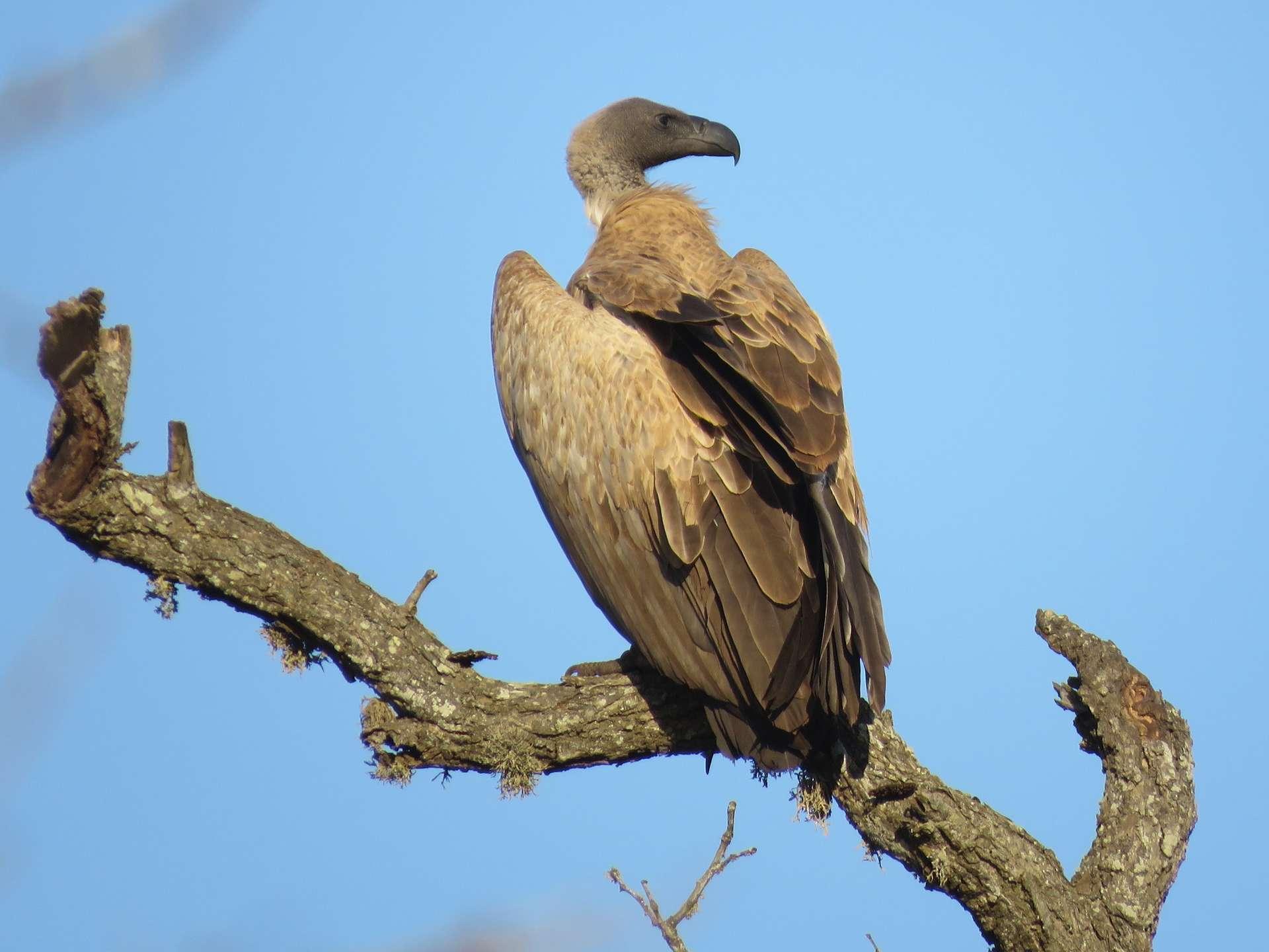 Le vautour africain (Gyps africanus) est menacé de disparition après un empoisonnement massif au Botswana. © gyrrlfalcon, iNaturalist
