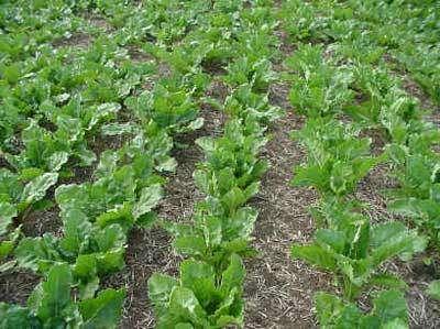 Couverture végétale pratique du semis direct