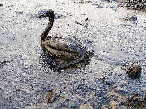 Un oiseau mazouté après une marée noire en Crimée. © Igor GOLUBENKOV / Saving Taman / Marinephotobank CC by 2.0
