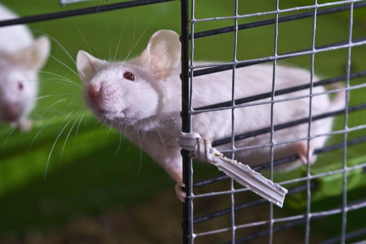 Les souris de laboratoire sont très utiles pour étudier le fonctionnement du cerveau. Dans cette expérience, les auteurs se sont intéressés à l'extinction de la mémoire chez ces rongeurs. Ils ont mis en évidence une protéine, appelée Tet1, qui joue un rôle clé dans le processus. © Miles Cave, Flickr, cc by nc nd 2.0