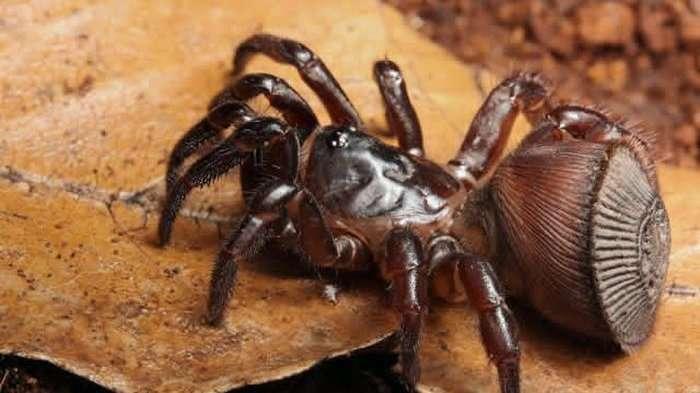 Cyclocosmia ricketti, une espèce d'araignée bien étrange dont l'abdomen fait penser à une pièce de bois sculptée. © IST