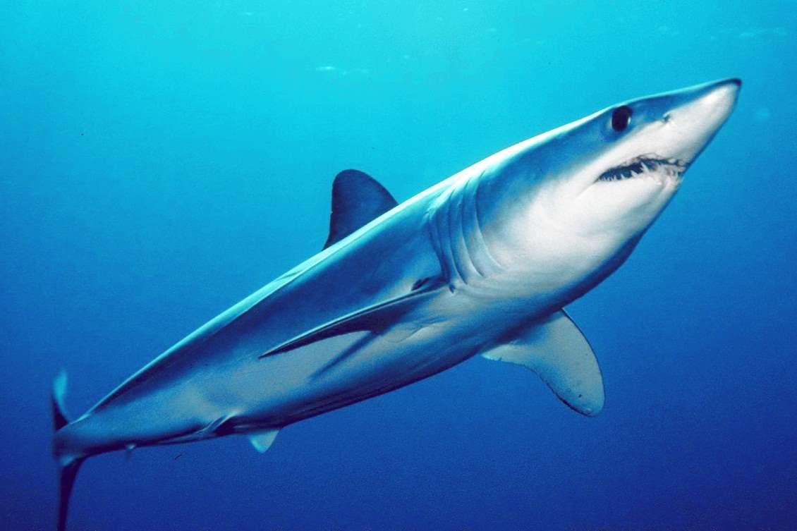 Le requin-taupe bleu (Isurus oxyrinchus) appartient à la famille des requins blancs. C'est la seule espèce qui ne figure pas sur la liste des requins protégés par le moratoire établi en 2006 en Polynésie française. © Mark Colin, DP
