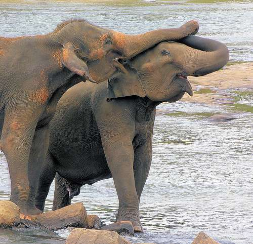 L'éléphant est un animal social qui entretient des échanges avec le reste de la troupe et cohabite assez pacifiquement avec les autres mammifères de la savane. © Carmelo Aquilina