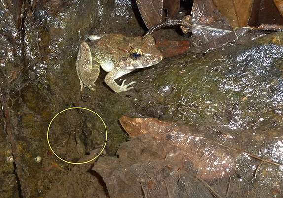 Découvert en 1996, le genre Limnonectes, endémique du Sulawesi, a divergé en plusieurs espèces qui se sont adaptées à différents habitats et régimes alimentaires. Ces grenouilles pèsent entre 2 et 900 g. Seules 4 des 25 espèces estimées sont réellement connues. Ici, un adulte et deux têtards (cercle jaune). © Djoko T. Iskandar, Ben J. Evans, Jimmy A. McGuire, Wikimedia, CC by-sa 4.0