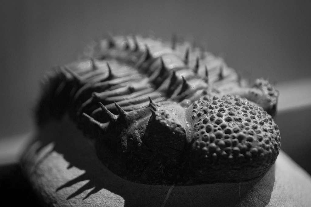 Les trilobites sont des arthropodes marins qui ont vécu du Cambrien au Permien. Ils ont donc disparu voici 250 millions d'années. Leurs fossiles font l'objet d'études paléozoologiques. © Waleed Alzuhair, Flickr, cc by nc sa 2.0
