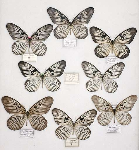 Exemple de polytypisme chez le papillon Idea blanchardii. © Lepido.france CC by-nc-nd 3.0